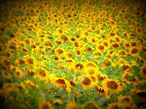 Zonnebloemvelden in girona #isabellafeelfree