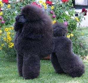 """Clara was bred by """"Clarion Poodles"""" - Lodi California"""
