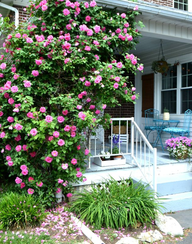 Climbing roses | side porch