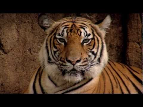 What drives ppl to hunt one of the world's most endangered and much loved species #tigers? Watch  'Confessions of a tiger poacher'. With about 3,200 left in the wild this iconic species teeters at the edge. Poaching and the illegal wildlife trade are among the gravest threats to the tiger's survival. We are working with former poachers and local governments to stop the poaching and save the species. http://www.wwf.org.au/our_work/wwf_global_work/wwf_global_flagship_species/tigers/