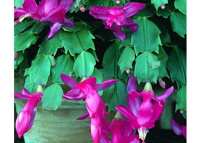 Cactus de Noël - Caractéristiques                                                                                                                                                                                 Plus