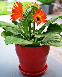 Gerbera_Plantas que PURIFICAN el aire de nuestro hogar