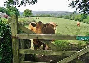 Devon cow...why? Because of course Devon cows make the best Devonshire cream!: Country Living, Food And Drinks, Devon Cow Why, Country Life