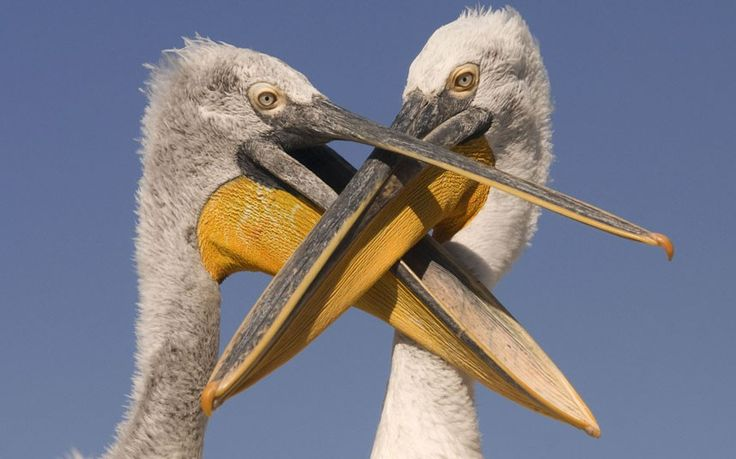 Dalmatian pelican (Pelecanus crispus) chick begging for food from adult, Danube Delta, Romania. Picture: Bence Mate/NPL / Rex Features