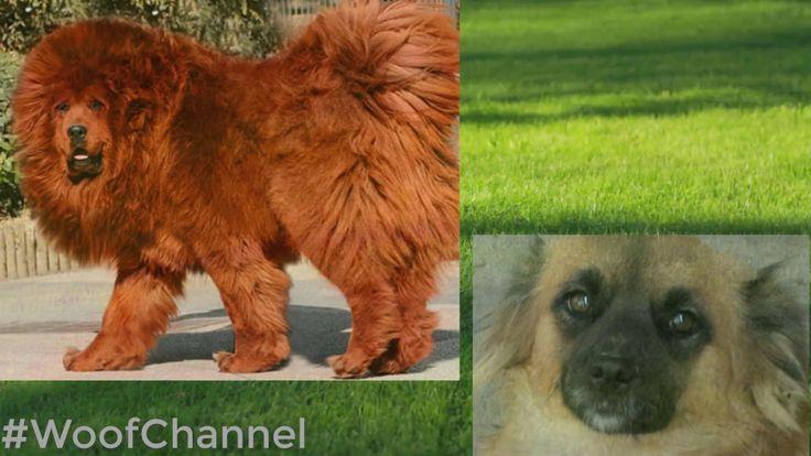 Самая крупная порода собак. Тибетский мастиф  #WoofChannel