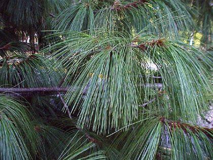 Pinus wallichiana - Himalayan Pine