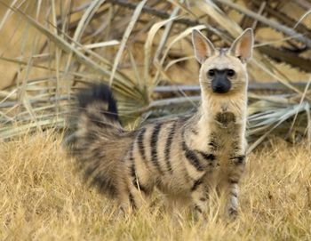 """Aardwolf...The aardwolf is a small, insectivorous mammal, native to East Africa and Southern Africa. Its name means """"earth wolf"""" in the Afrikaans / Dutch language."""