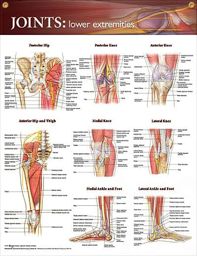 Joints: Lower Extremities anatomy poster shows key bones, muscles, tendons, nerves and arteries of hips, legs and feet.