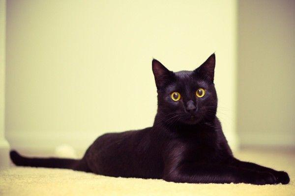 ¿Soñar con un gato negro significaría desgracia y engaño? ~ Horóscopo y Fortuna