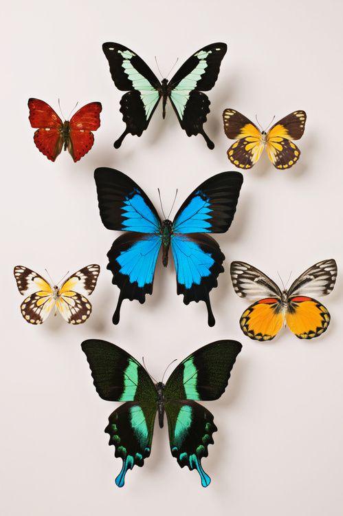 planche de papillons Deyrolle