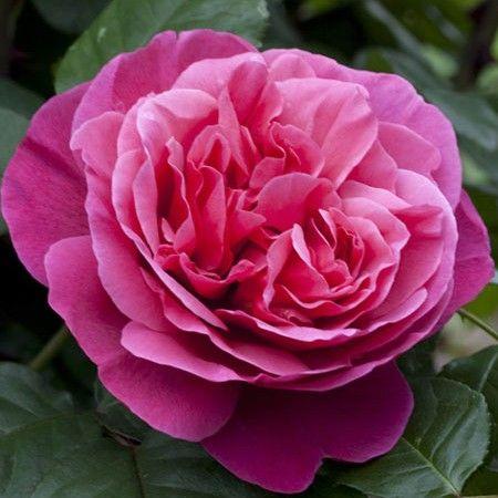94 best gybrid tea rosa images on pinterest. Black Bedroom Furniture Sets. Home Design Ideas