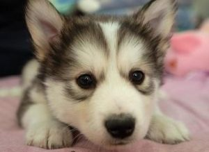 Husky and golden retriever mix. This would be the best dog ever!