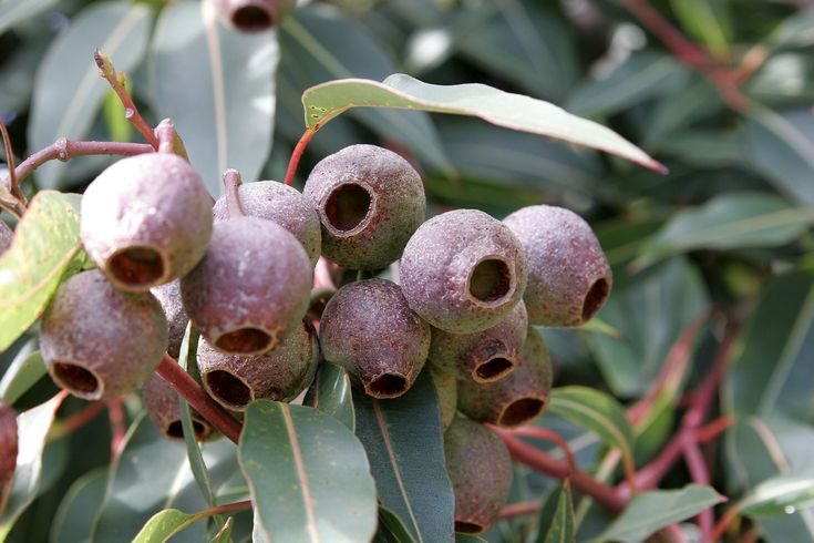 Gumnuts (seed pods of the eucalyptus)