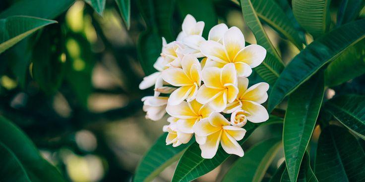Η πλουμέρια είναι φυτό που ευδοκιμεί στα τροπικά και τα υποτροπικά κλίματα. Αγαπάει πολύ τη ζέστη και την άφθονη υγρασία στην ατμόσφαιρα. Τα λουλούδια της βρίσκονται κατά ομάδες στις άκρες των κλαδιών και αποτελούνται από πέντε χαρακτηριστικά βελούδινα πέταλα.