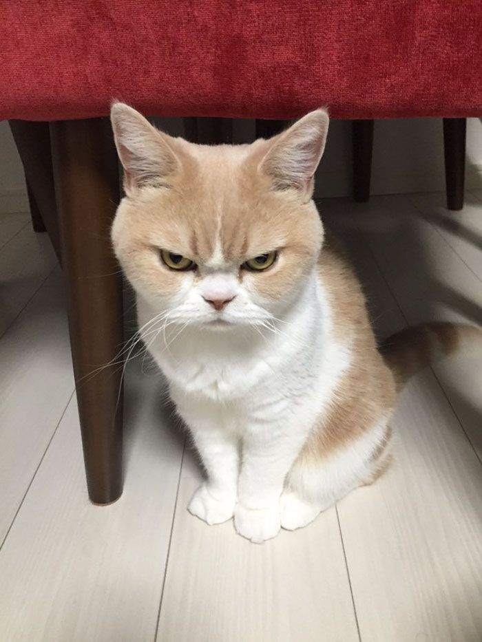Este es el Grumpy Cat japonés y tiene aún más cara de enfado que el original   Bored Panda