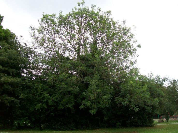 European or Common Ash | Scientific Name: Fraxinus excelsior Native to: Europe & southwestern Asia USDA Zones: 5-8 Height: 60-80' tall Number of Leaflets: 7-13