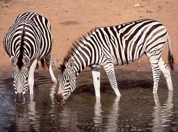 zebra_mgr-01-g.jpg (608×450)