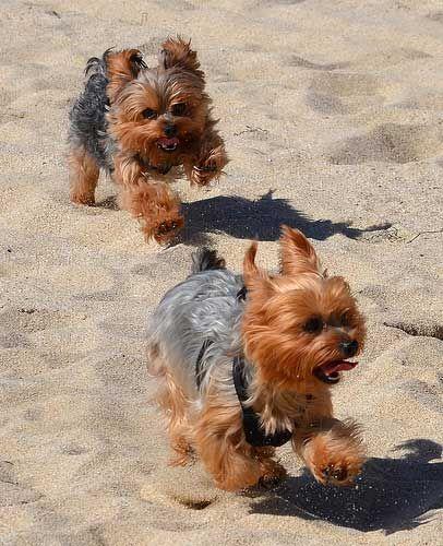 Yorkies running at the beach  #yorkie #dogs #pets