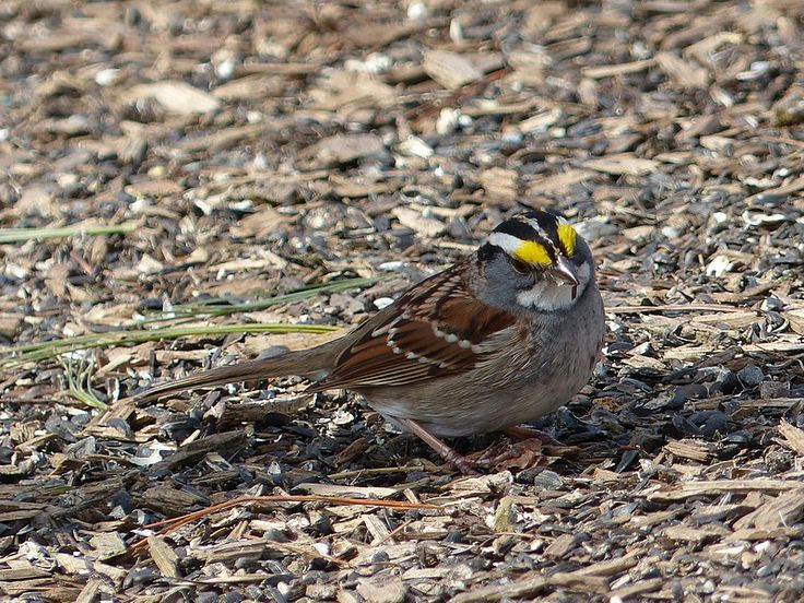 http://faaxaal.forumgratuit.ca/t391-photo-d-oiseau-bruant-a-gorge-blanche-zonotrichia-albicollis-white-throated-sparrow#5677