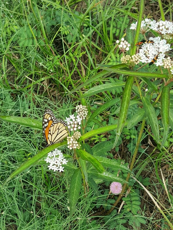 Asclepias perennis, Monarch and beetles