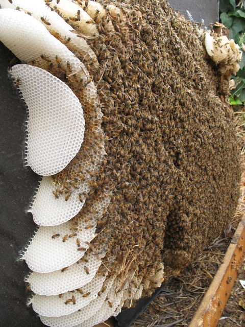 A bee colony under an old couch. That looks fascinating!