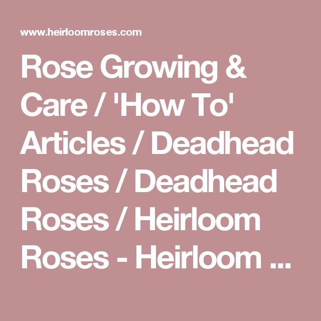 Rose Growing & Care / 'How To' Articles / Deadhead Roses / Deadhead Roses / Heirloom Roses - Heirloom Roses