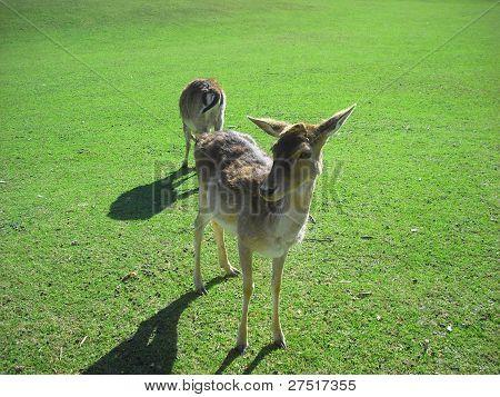 Photo : Deer