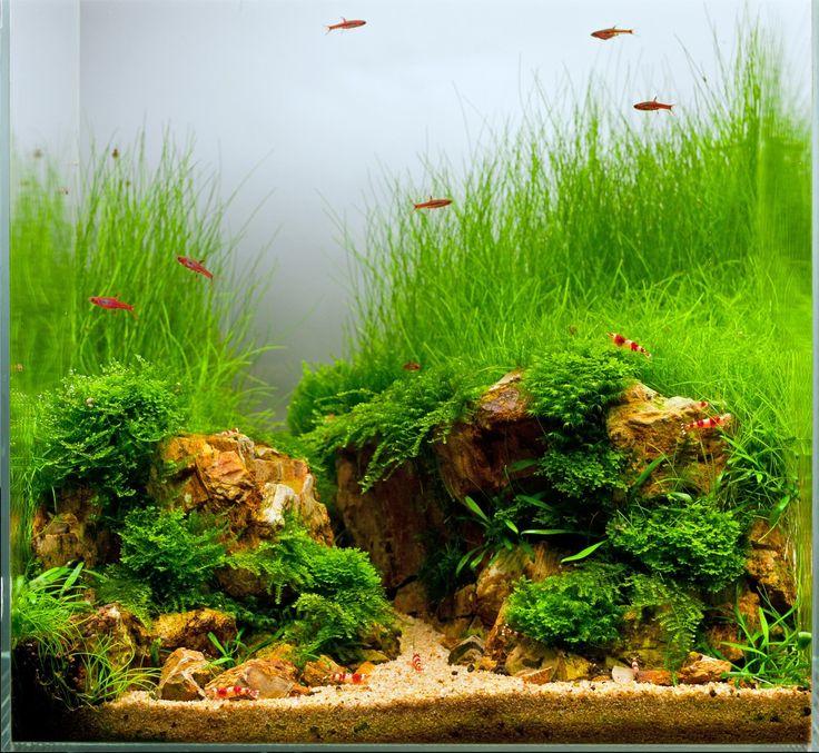 Les 25 meilleures id es de la cat gorie plante aquarium eau douce sur pinterest plantes d - Plantes d aquarium eau douce ...