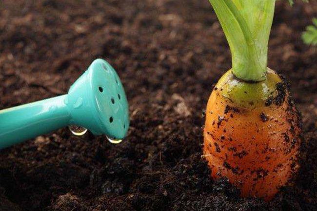 Посадка моркови весной в открытый грунт семенами. Лучшие сорта моркови и способы посадки