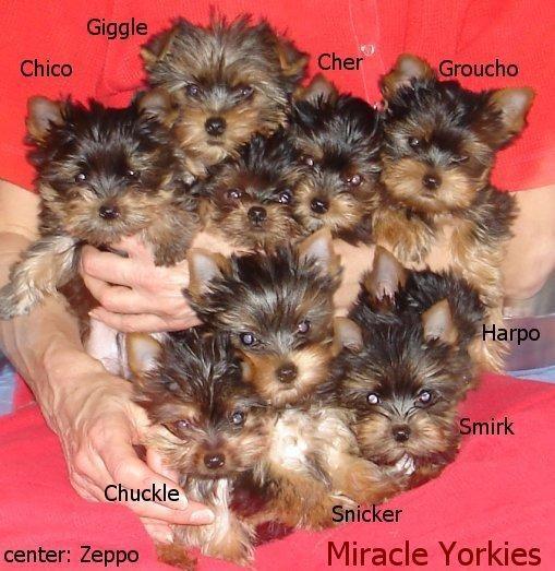 Miracle Yorkies http://www.miracleyorkies.com