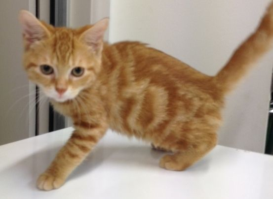 KitKat is a gorgeous DSH boy with lots of personality!
