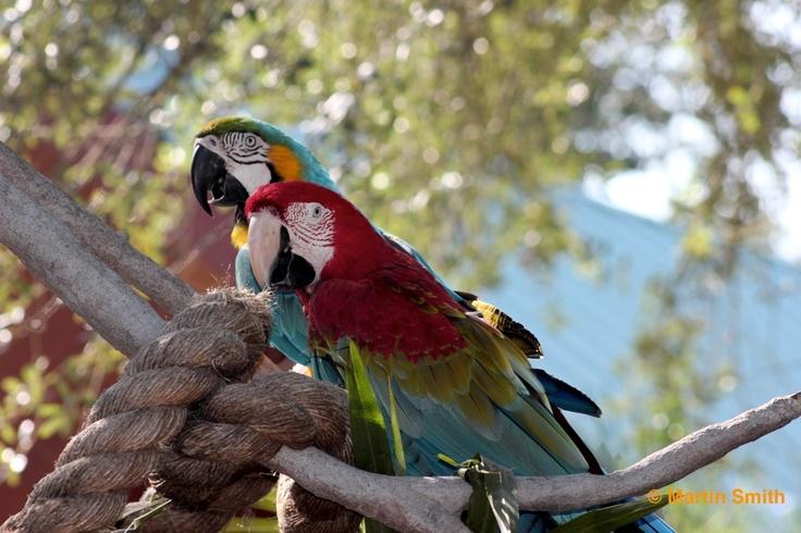 Macaws at Busch Gardens Tampa Bay˚