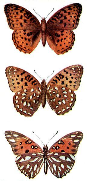 Ilustración de la mariposa de la vendimia
