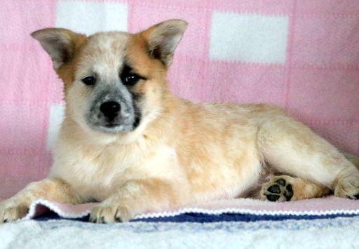 Australian Cattle Dog-Samoyed Mix puppy for sale in MOUNT JOY, PA. ADN-51600 on PuppyFinder.com Gender: Female. Age: 10 Weeks Old