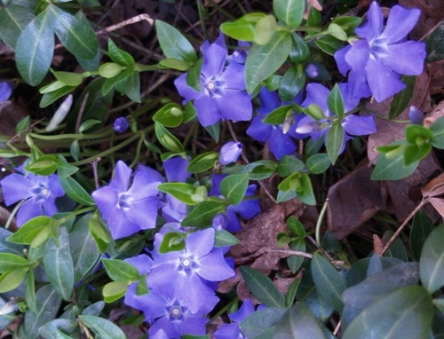 4 periwinkle vinca vine creeping myrtle live perennial for Perennial ground cover plants for sun
