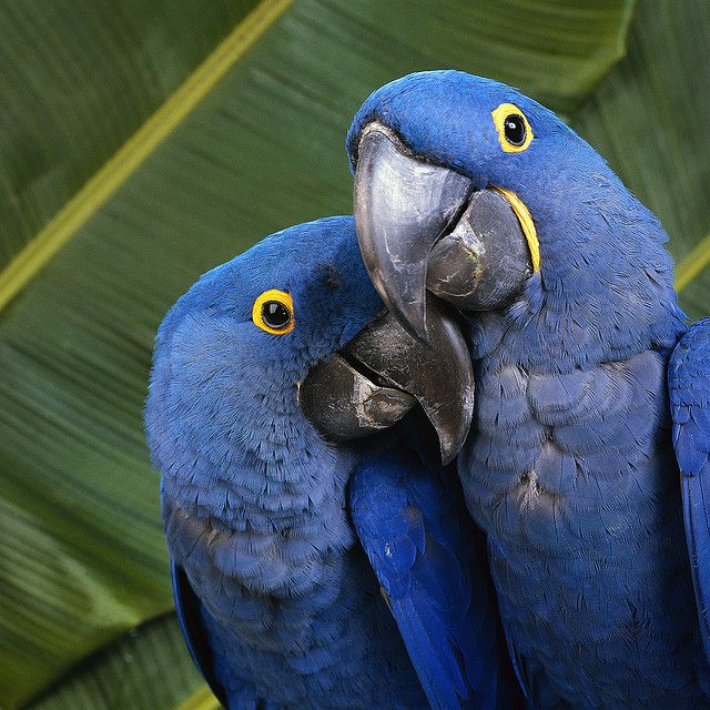 Hyacinth macaws sharing love :)