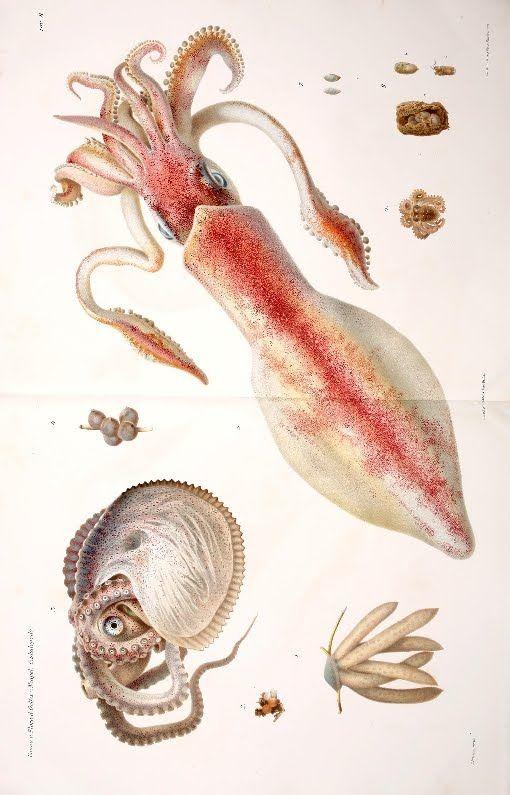 Neapolitan Cephalopod ~ by Comingio Merculiano #squid #sea-creature #fish #scientific #illustration