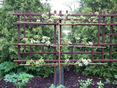 An idea for a free standing espalier frame fence for Free standing garden trellis designs