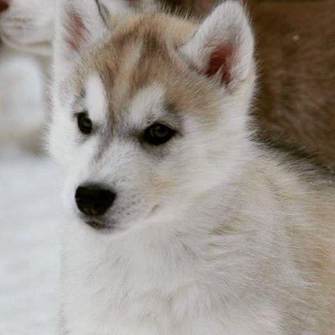The cutest pup ever! 💕  #ira #siberianhusky #husky #dogs #puppy #puppies #huskypuppy #huskypup #snowdog #sleddogs #mylove #cutie #huskylove #huskyphotography #huskylife #instadog #dogsofinsta #myboy #hunde #schlittenhund #welpe #愛犬 #犬  #犬写真 #犬生活 #シベリアンハスキー #ハスキー #そり犬 #子犬 #アイラ