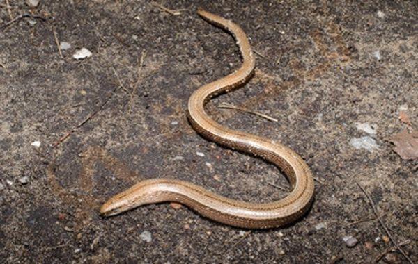 الدودة الشريطية هي عبارة عن طفيليات معوية تؤدي إلى مشاكل كبيرة في الأمعاء ولا تستطيع هذه الدودة العيش بمفردها حيث أنها تتعايش في أمعاء الإنسان أو Animals Snake