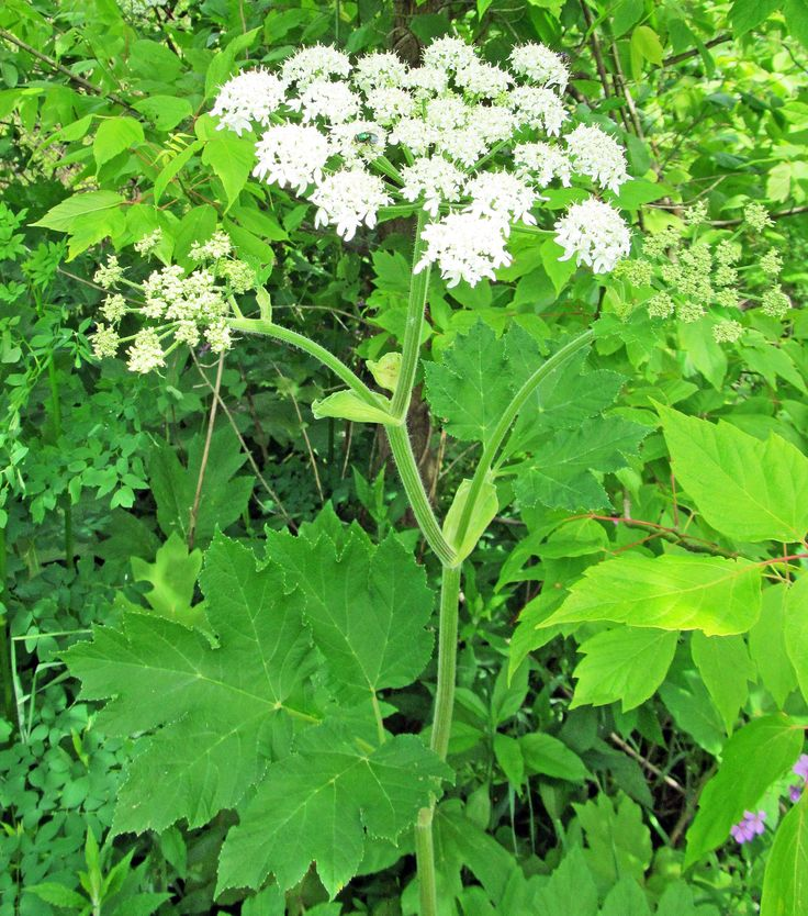 COW PARSNIP: (Heracleum maximum or Heracleum lanatum). Photographed May 23, 2017 at Independence Marsh, Beaver County, PA Conservation District.