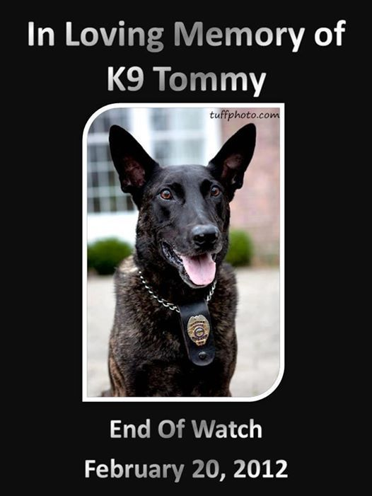 In Memory of K9 Tommy - EOW: 2/20/12 Tiffin OH K9 Tommy  Handler: Jake DeMonte   K9 Tommy was an 8 year old Dutch Shepherd. Until recently, he was a police dog, working for the City of Tiffin. Tiffin is a small community of roughly 18,000 residents located in Seneca County (Northwest Ohio). K9 Tommy was diagnosed in October of 2011 with T-Cell Lymphoma and after a very hard fought battle, cancer claimed his life on 2/20/2012.  Thank you for your service K9 Tommy.  You are a HERO.