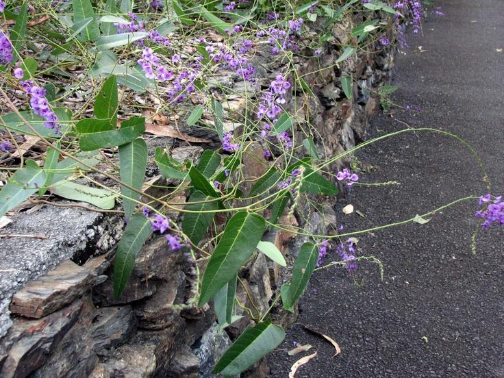 "Local ""rockery"" plants - Hardenbergia Violacea (purple coral pea)"