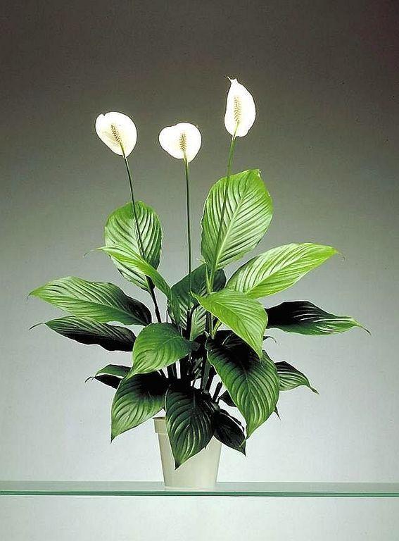 Lopatkovec | Spathiphyllum : návod k pěstování, požadavky na světlo, hnojení, vlhkost, množení a zalévání