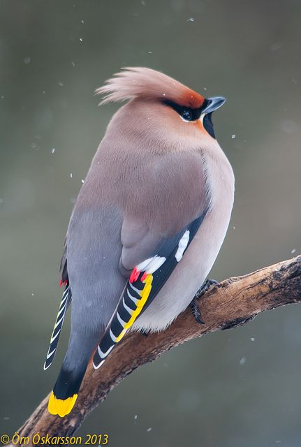 Bohemian Waxwing I had these stop and strip my 6 Savannah hollies one winter...beautiful birds.
