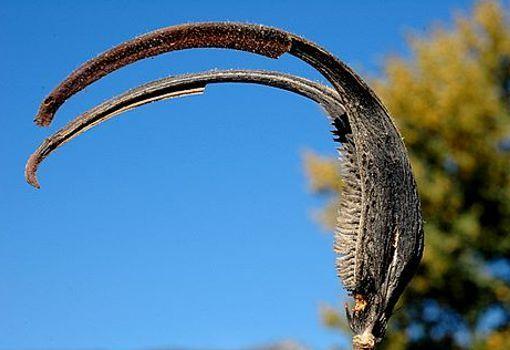Acacia greggii, las garras del diablo se trata de una especie nativa del suroeste de los Estados Unidos y el norte de México, La mayor parte de éstas se encuentran en Nuevo México, el oeste de Texas a la Baja California, Sinaloa y Nuevo León en México. A dicha planta se le atribuyen los siguientes nombre Acacia Garra de Gato, Garra de Gato de Gregg, Garras del Diablo, Flor del paraíso, Árbol-espera-un-minuto y finalmente Árbol-espera-un-poco.