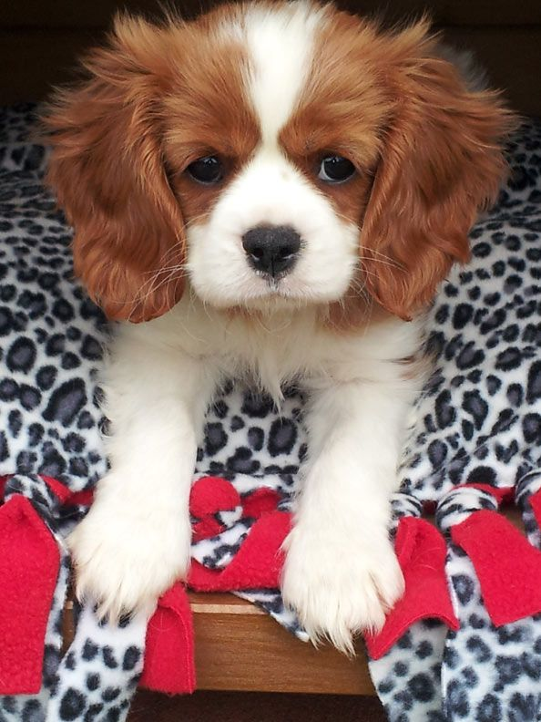 Hugo, a baby King Charles Cavalier, in a quiet 'stay' on his bed.