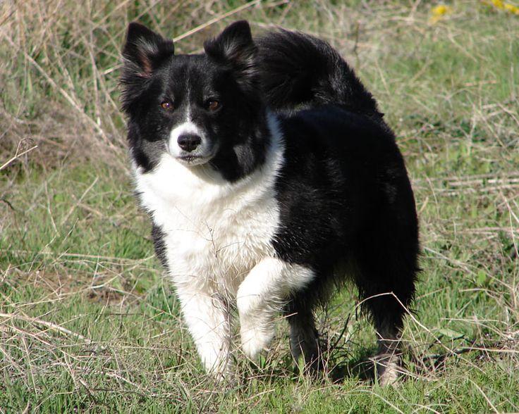 Icelandic Sheepdog   Subscribe to the Icelandic Sheepdog