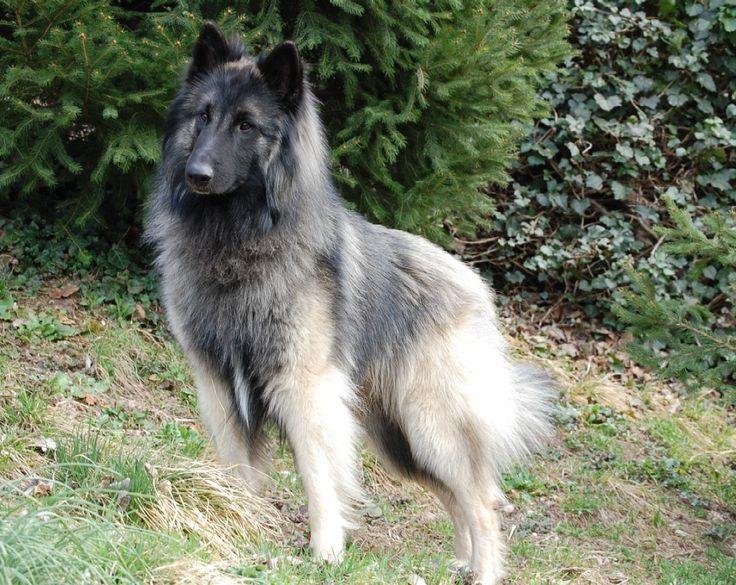 19a4d32b0613640913541073f52b5421--belgian-tervuren-belgian-shepherd.jpg