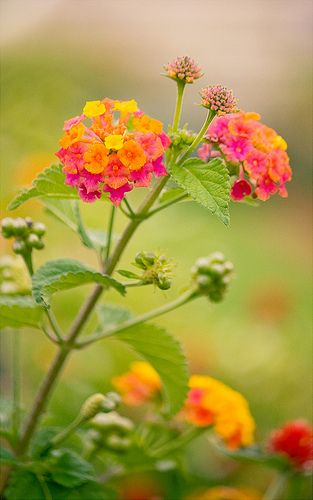 Lantana, loves tx heat, attracts bees/butterflies/hummingbirds